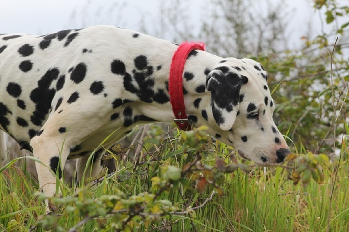 The inquisitive nature of dogs puts them at risk when it comes to toxic plants.