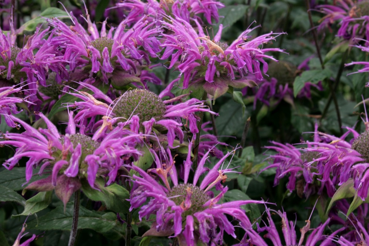 Bee Balm, a Colorful and Vibrant Plant You'll Love