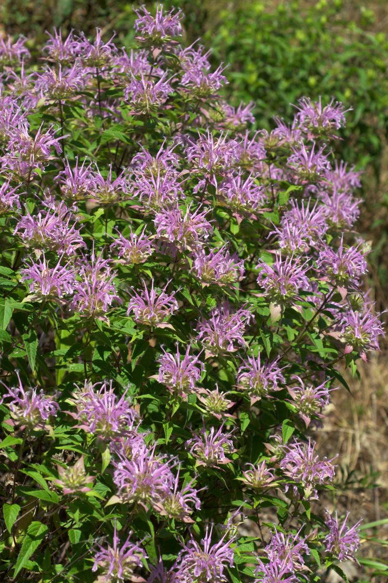 Wild Bergamot Bee Balm, Monarda Fistulosa