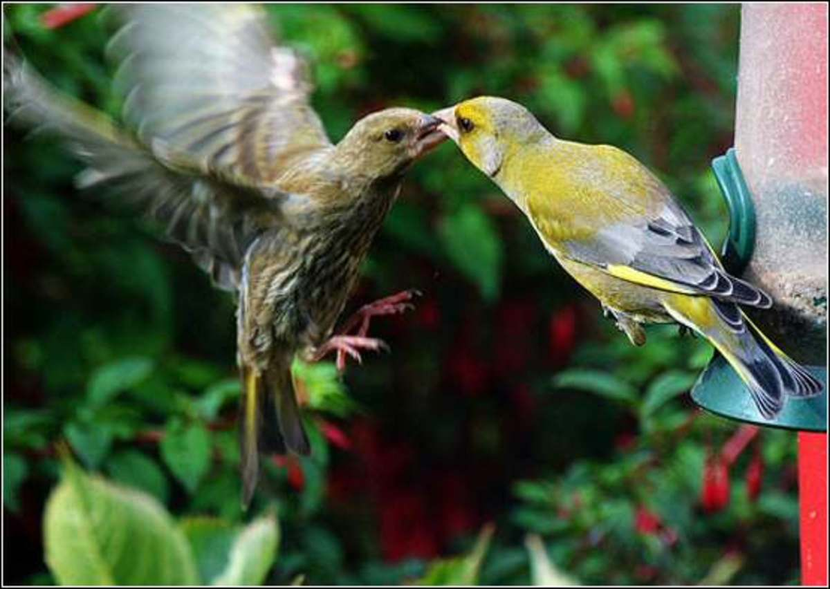 LOVE (Goldfinch)