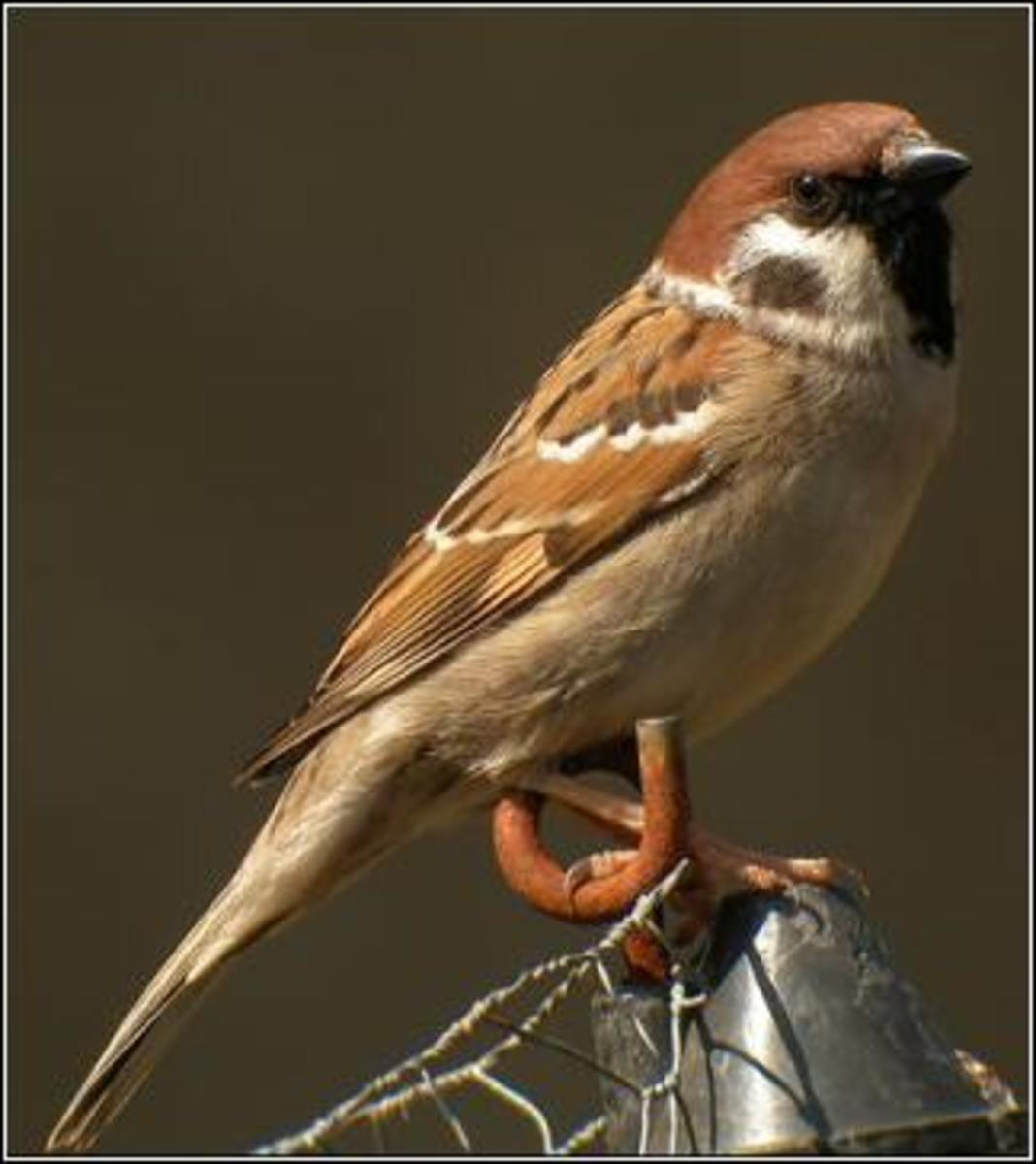 The humble Tree Sparrow of China
