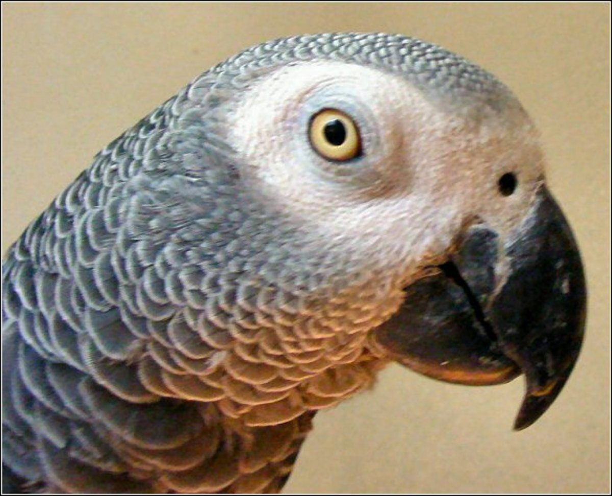 This is my son. His name is Da Vinci. He is an 8 year-old African Grey