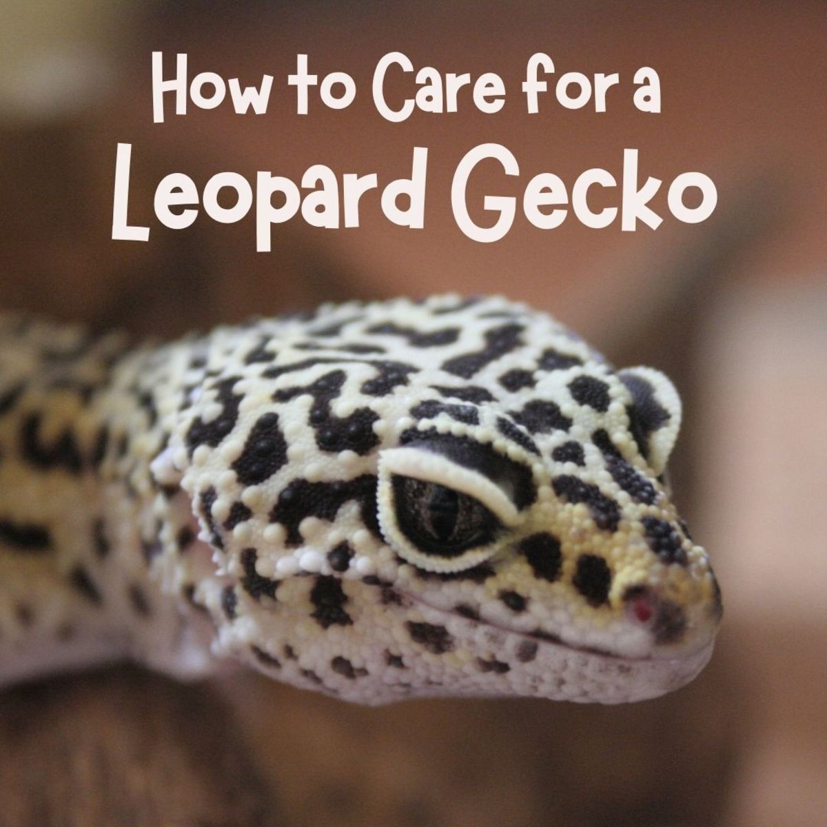 Leopard geckos are fun, interesting pets, but they do require some specific conditions to thrive.