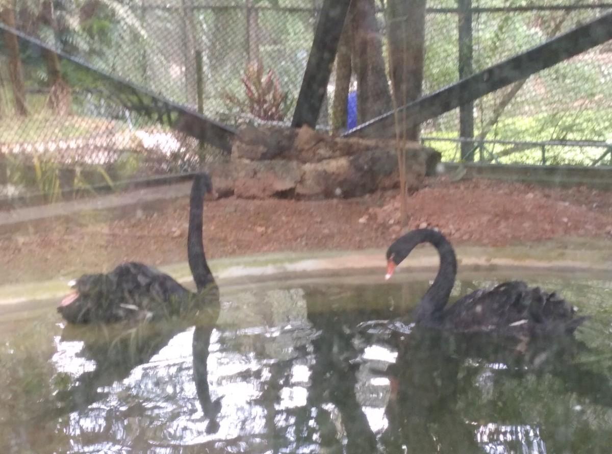Pic of Black Swan