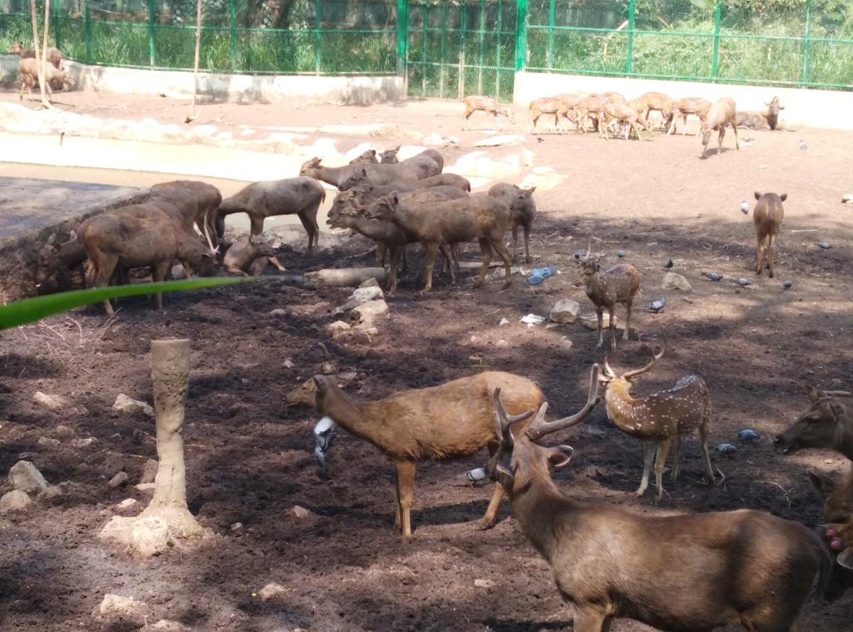 Pic of Sambar Deer