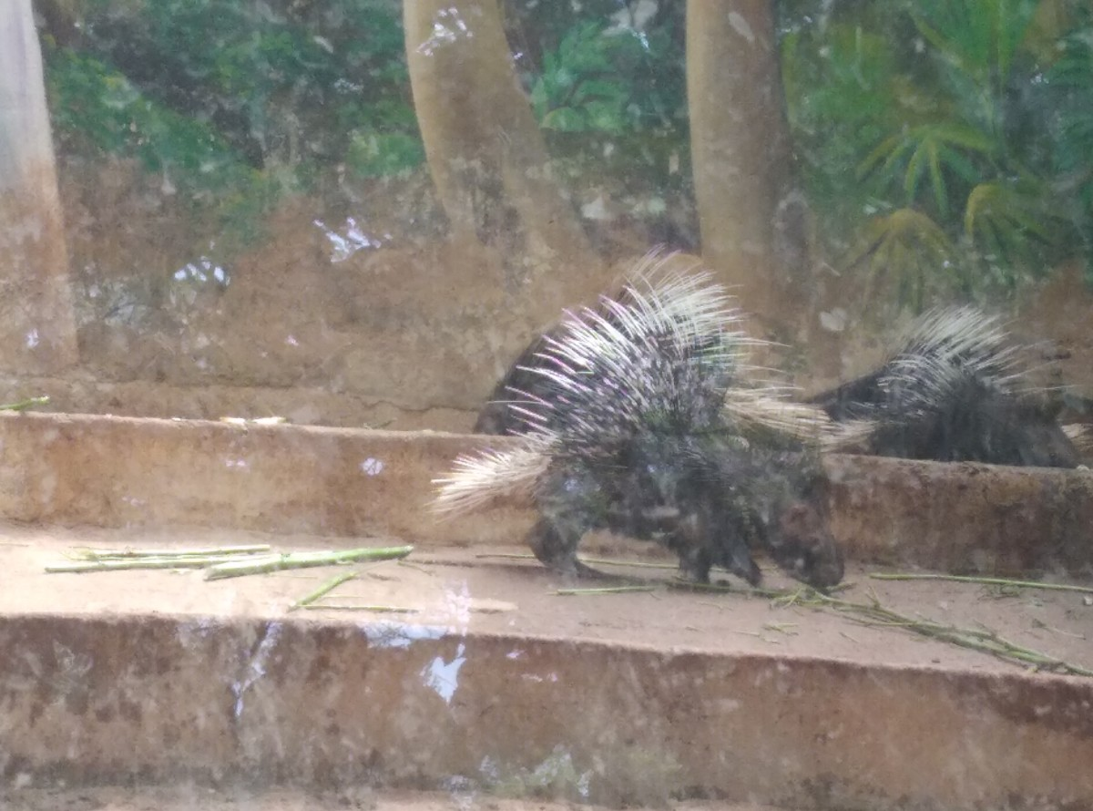 Pic of Indian Porcupine
