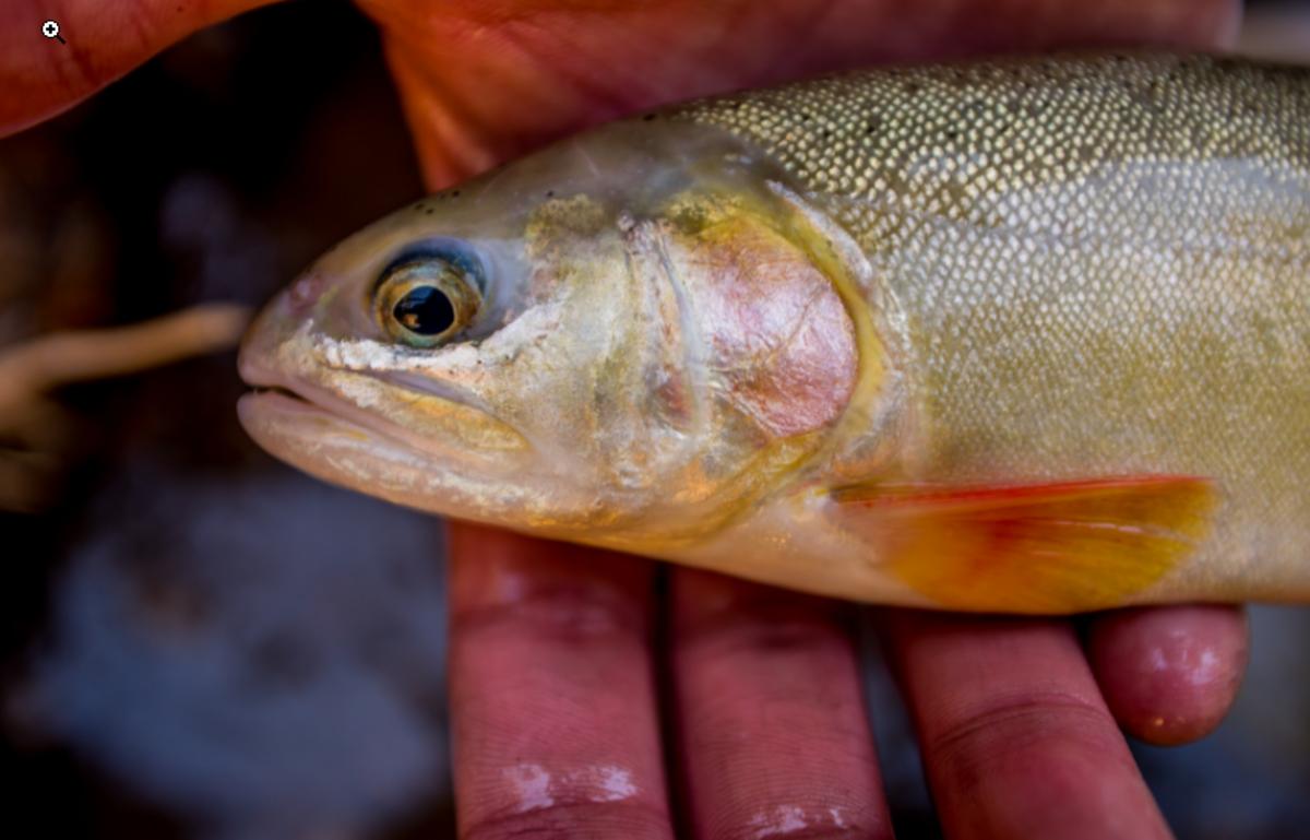 Gila trout head - close-up