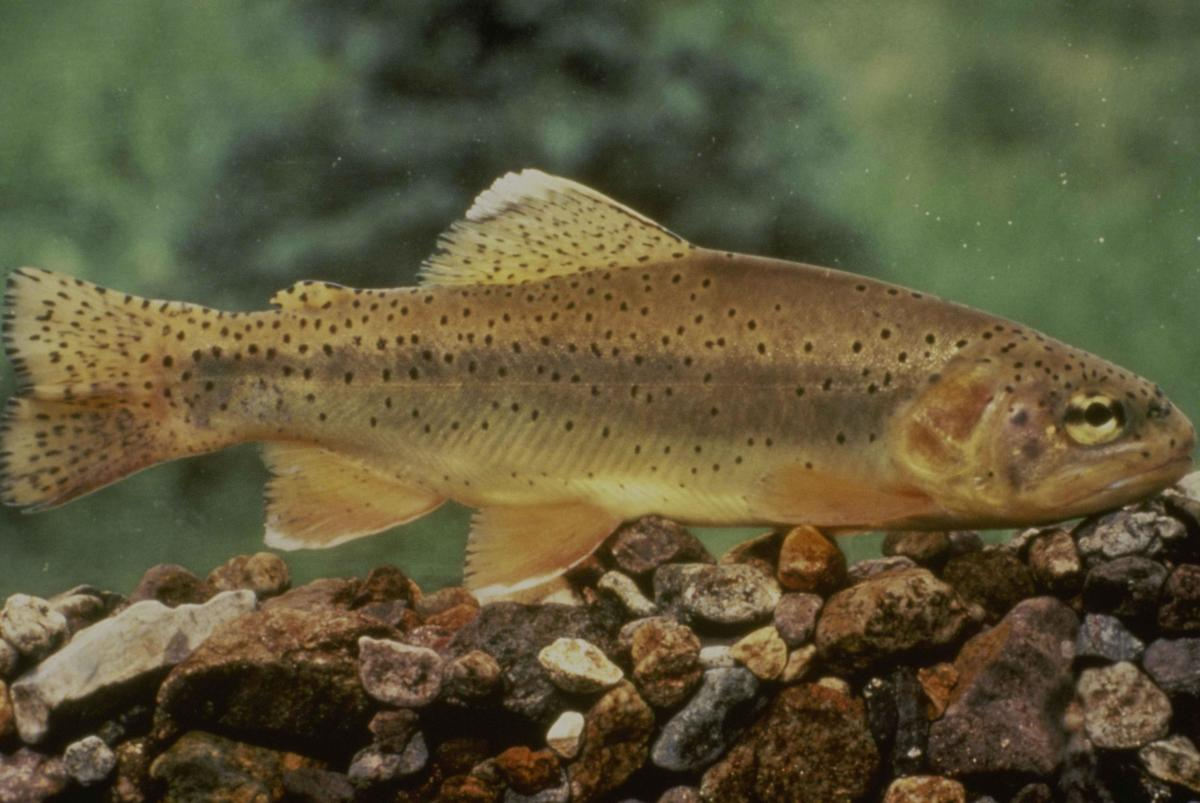 the-gila-trout-of-arizona-and-new-mexico