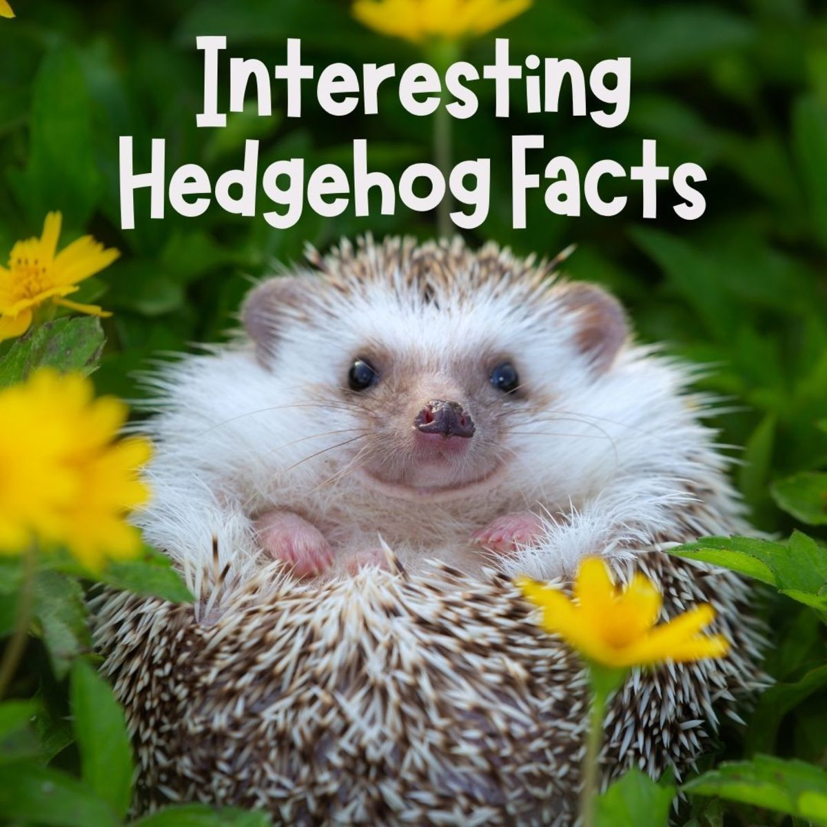 Do hedgehogs have eyelids? Learn all about hedgehogs here.