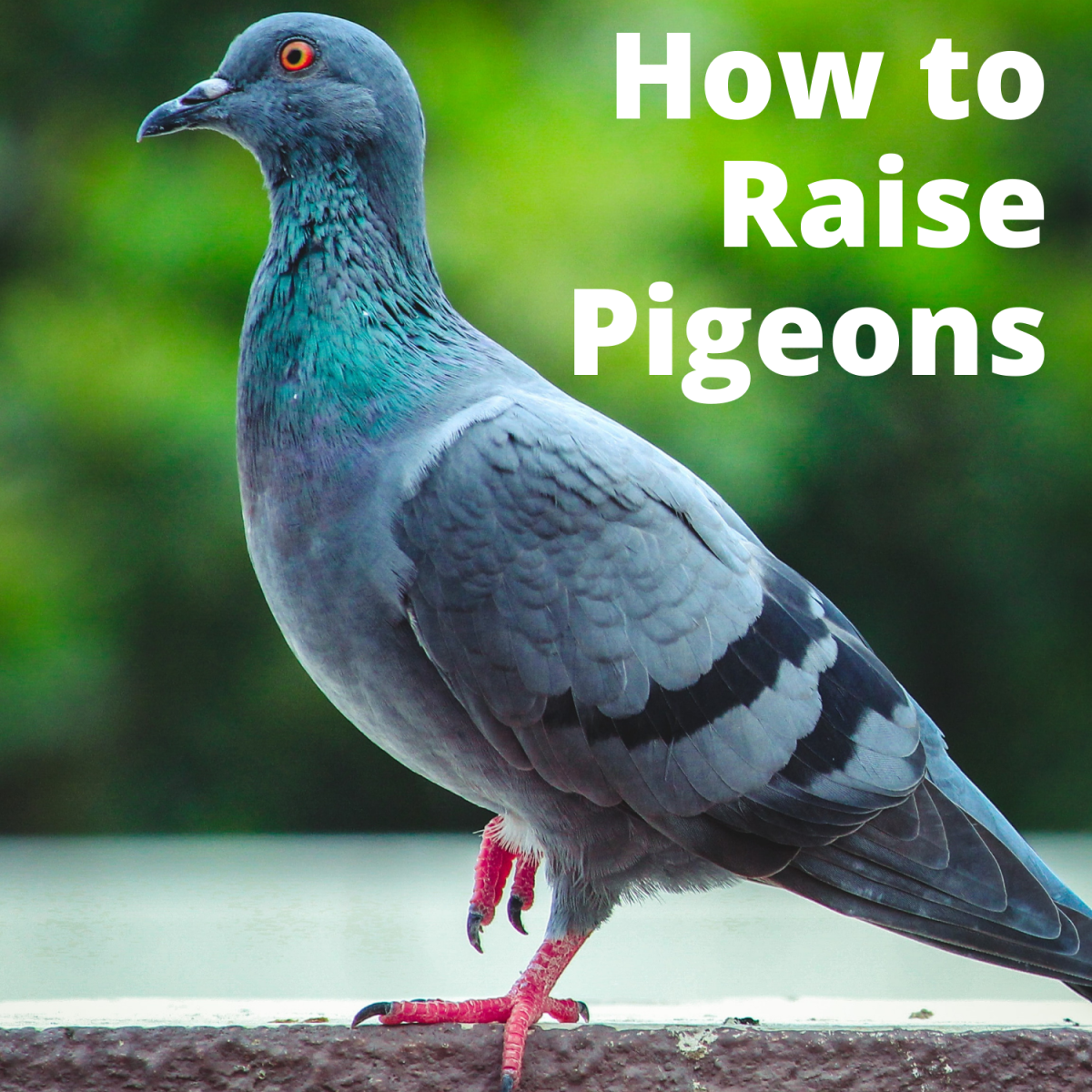 How to Raise Pigeons as Pets