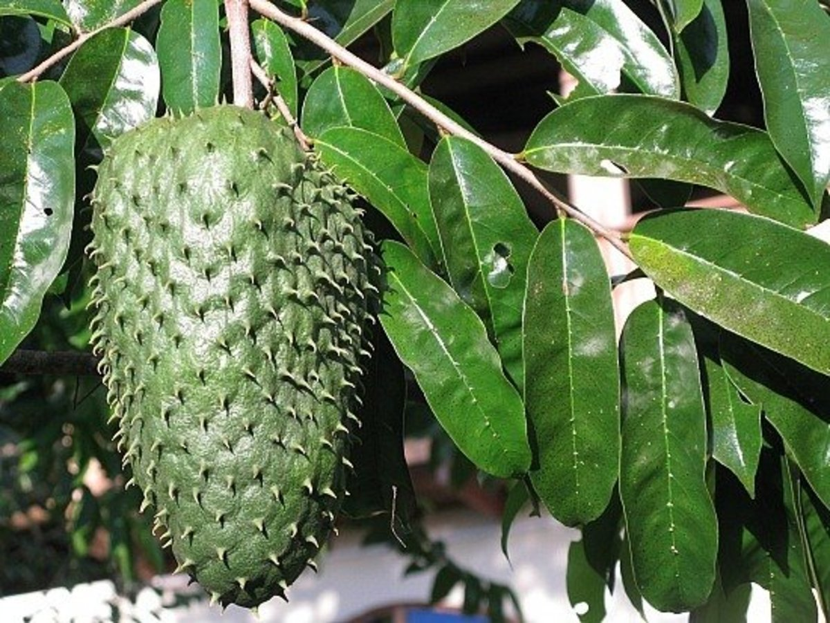 Cancer, Cure Naturally With Guanabana, Soursop, Graviola