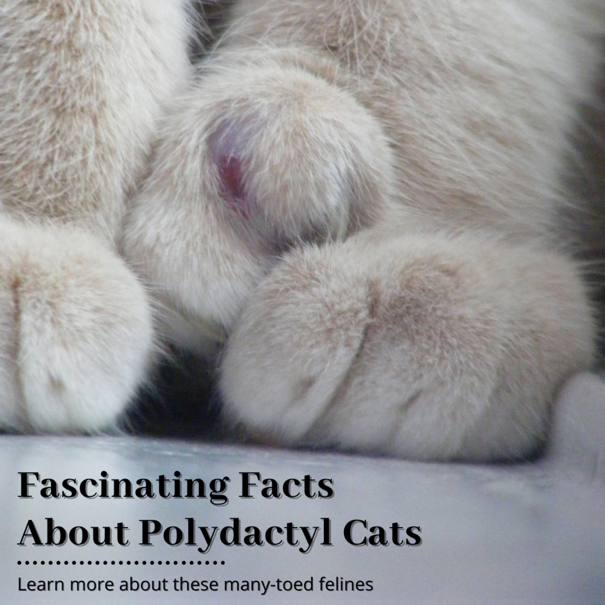 This article will break down everything you need to know about polydactyl cats and what makes them special.