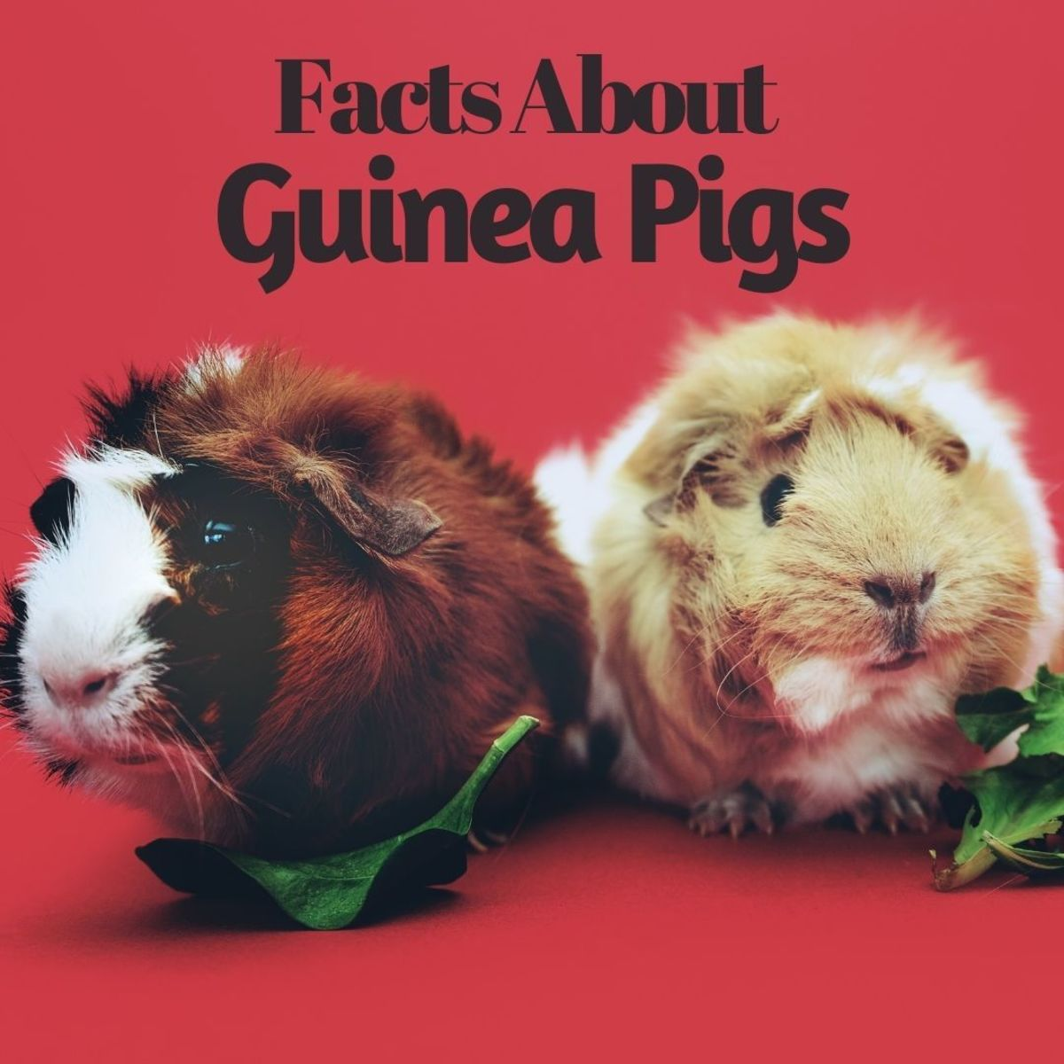 20 Facts About Guinea Pigs