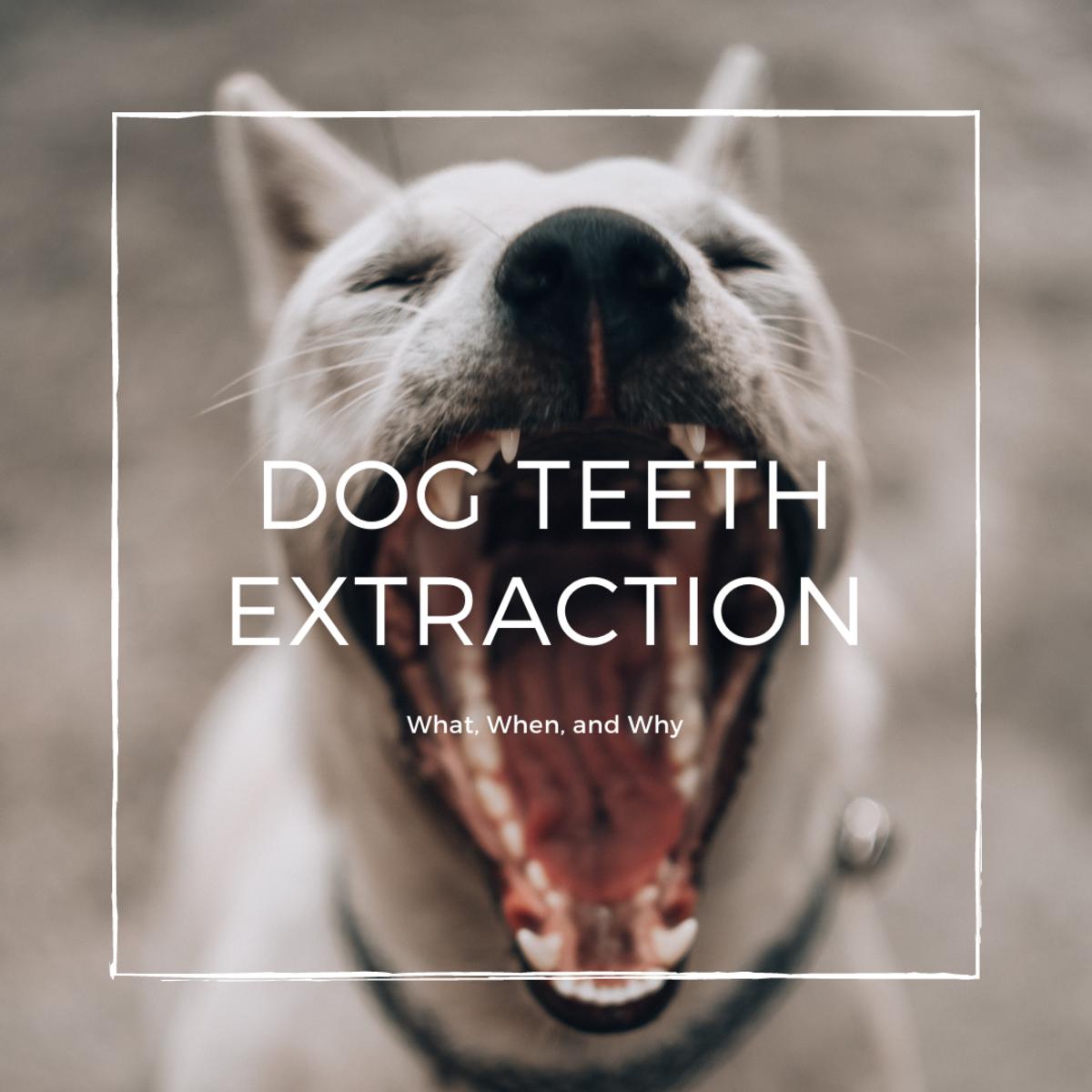 Dog Teeth Extraction