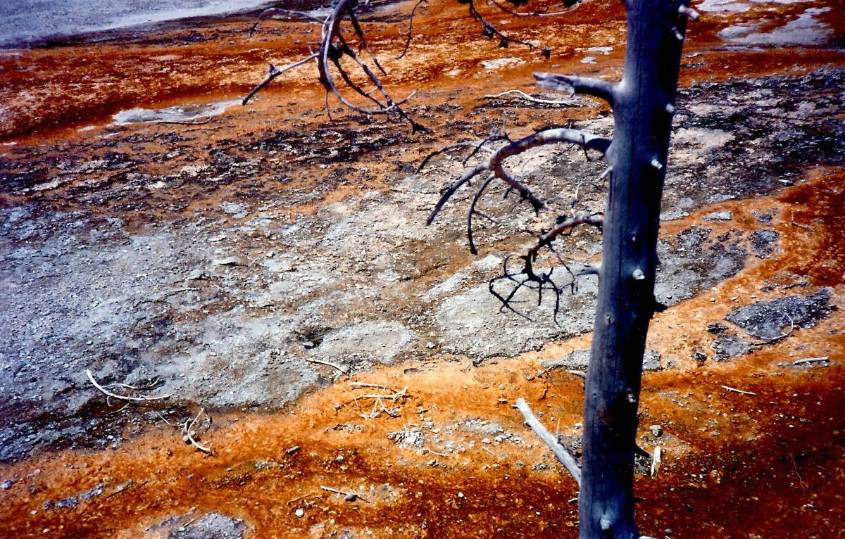 These trees slowly absorb chemicals from the earth and die.
