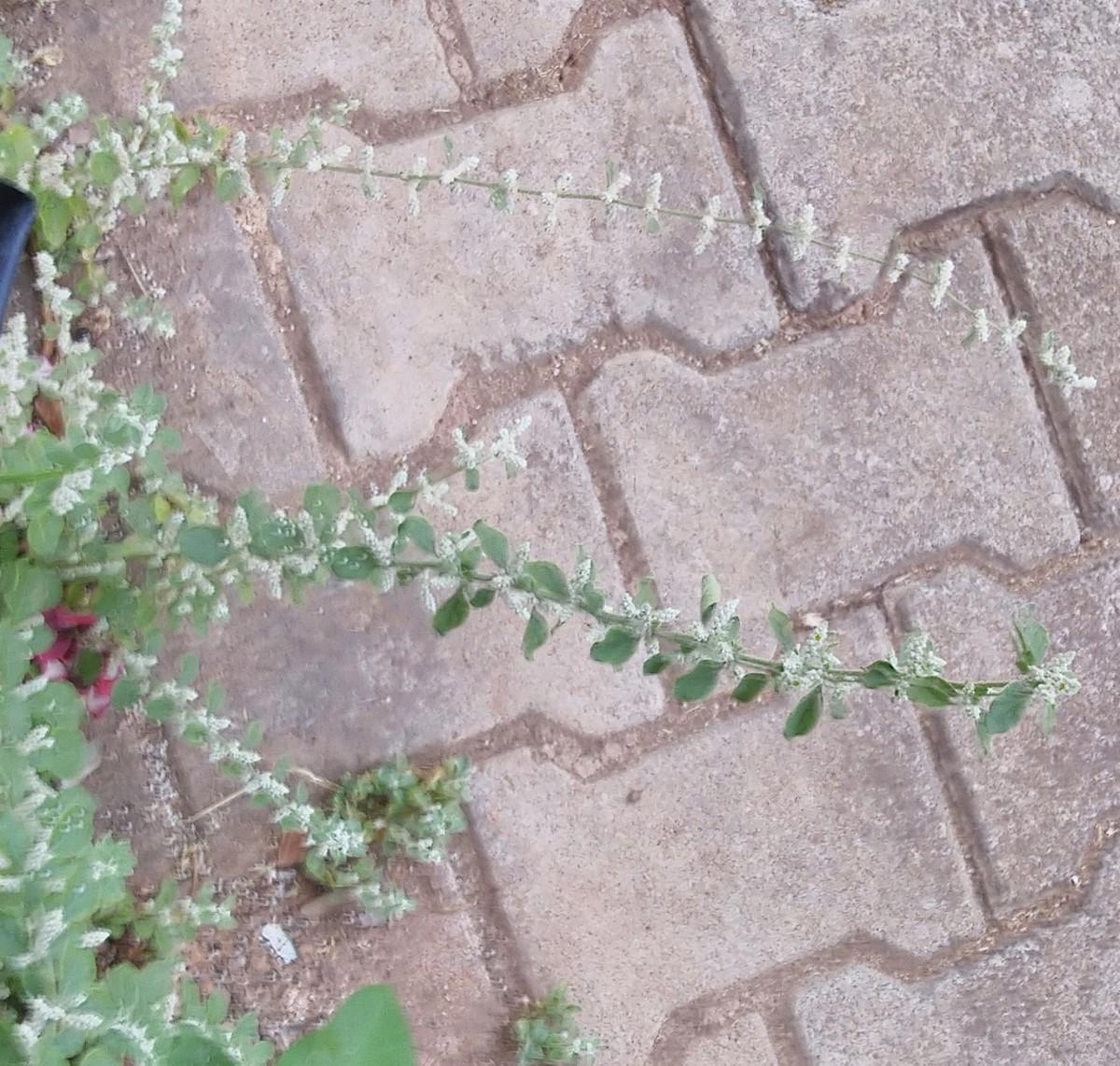 Mountain Knot-grass plant (Aerva lanata)