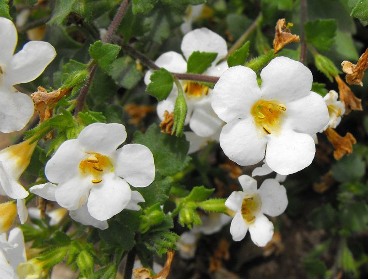 Bacopa's pretty white flowers.