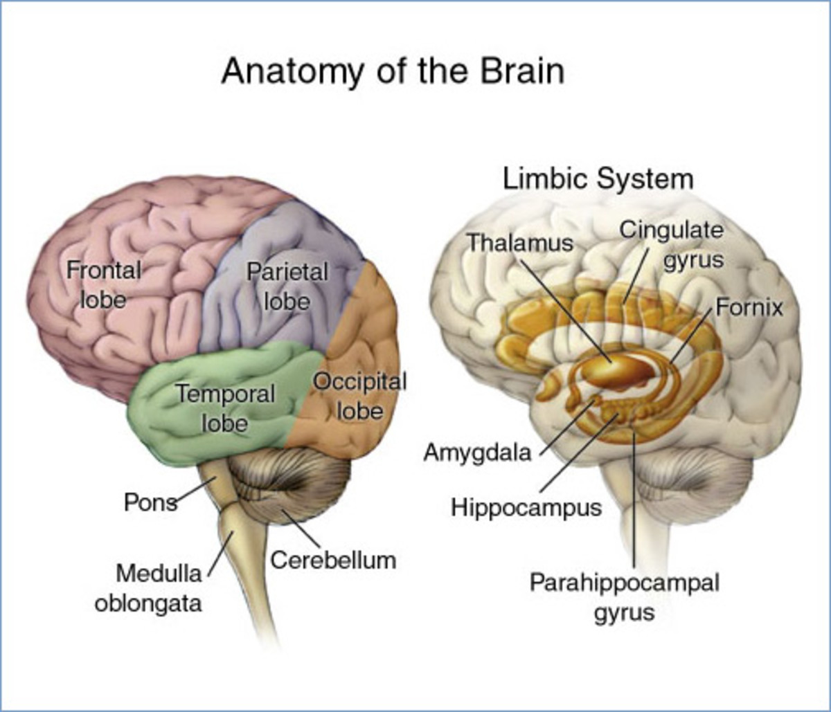 The Limbic System and different lobes of the human brain.