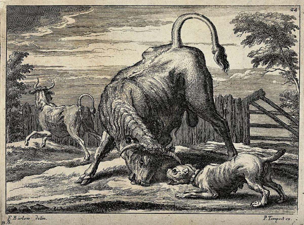 Bull and Bulldog Etching by F. Barlow circa 17th Century