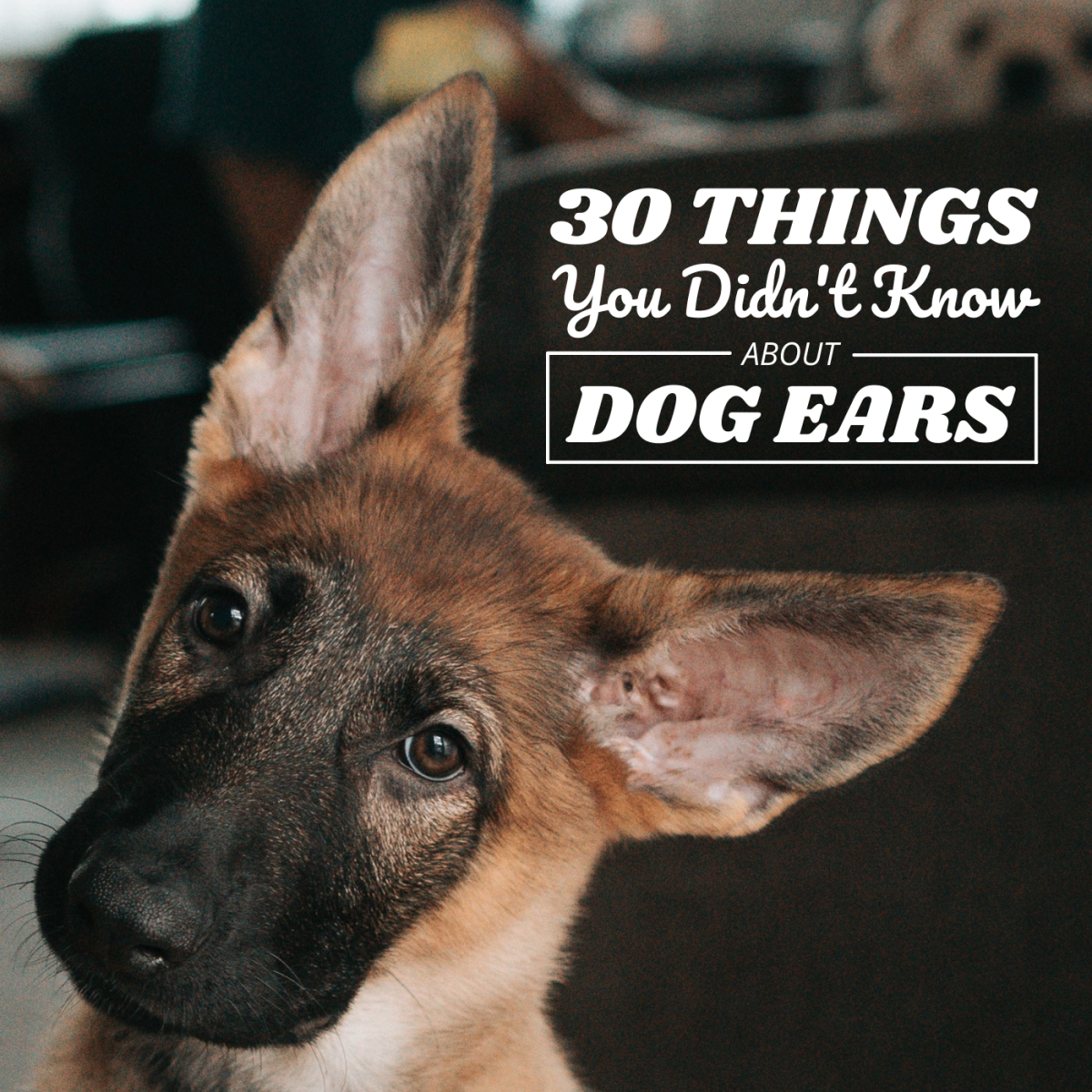 30 Fascinating Facts About Dog Ears
