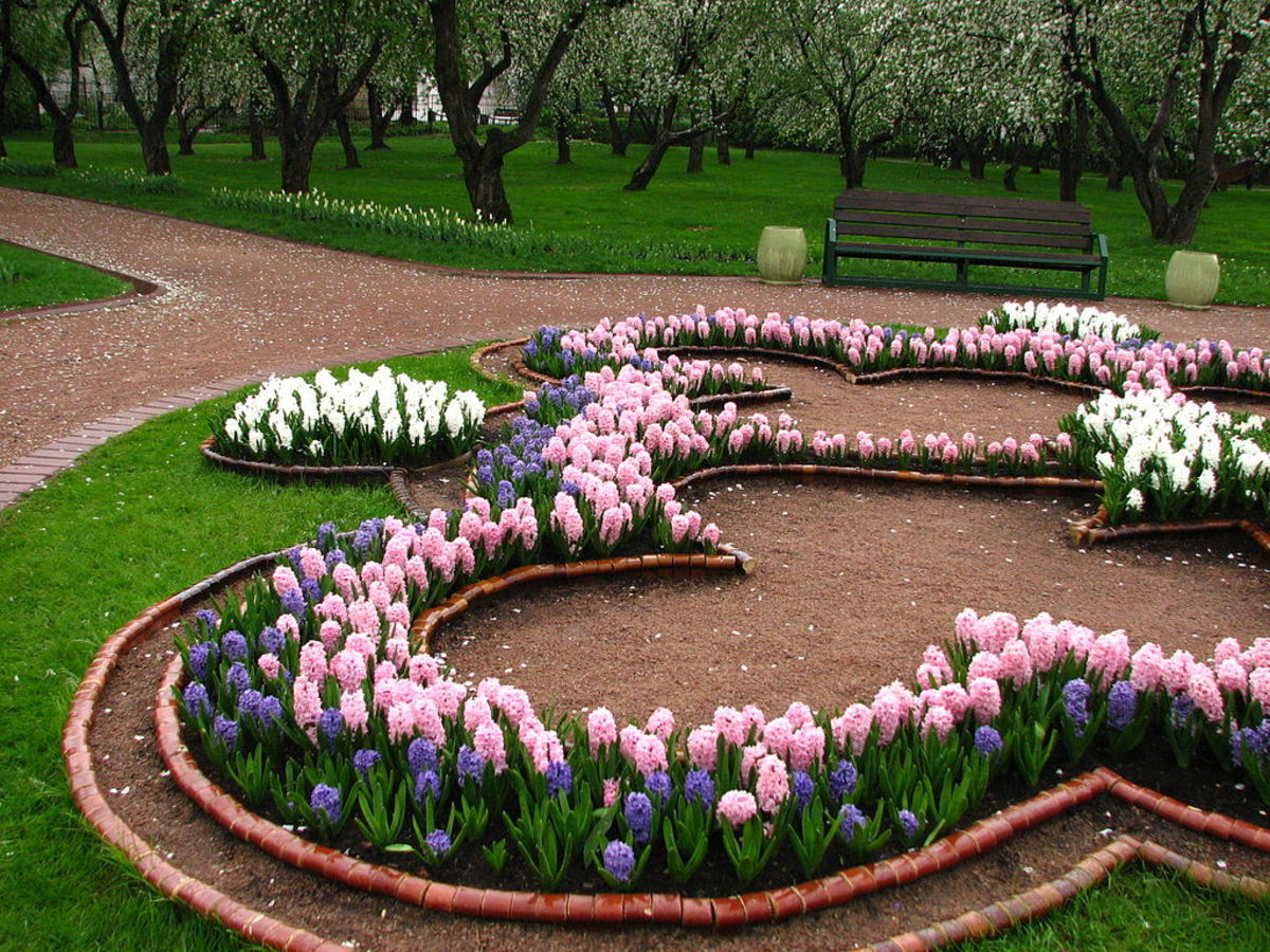 Hyacinths can be used in both formal and informal spring plantings.