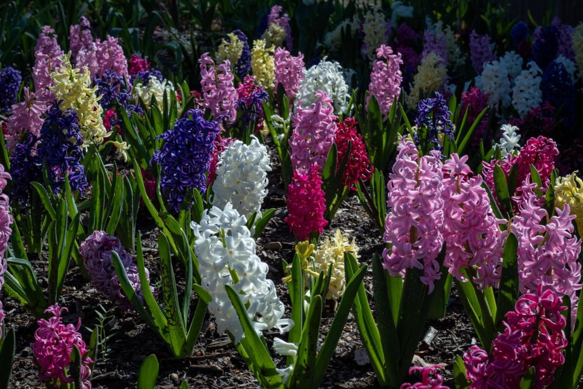 how-to-grow-hyacinths-for-spring-color