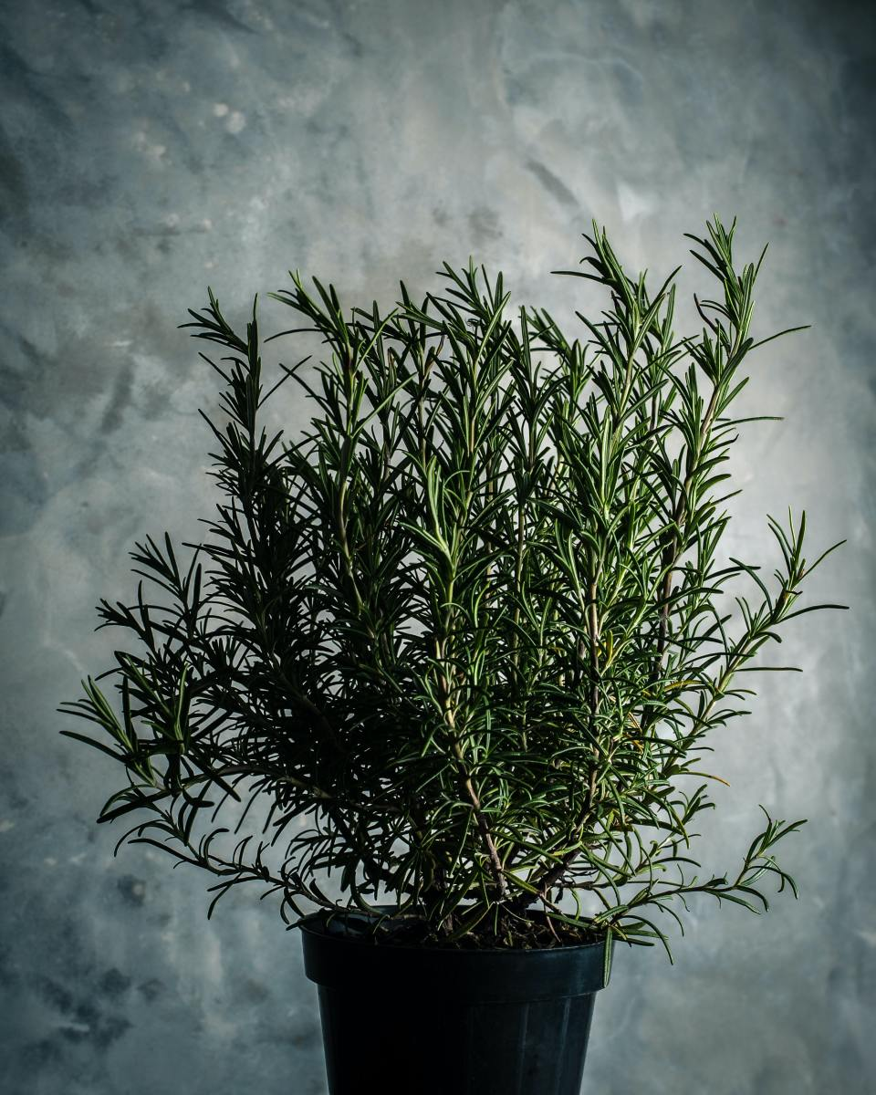 Rosemary strengthens the memory.