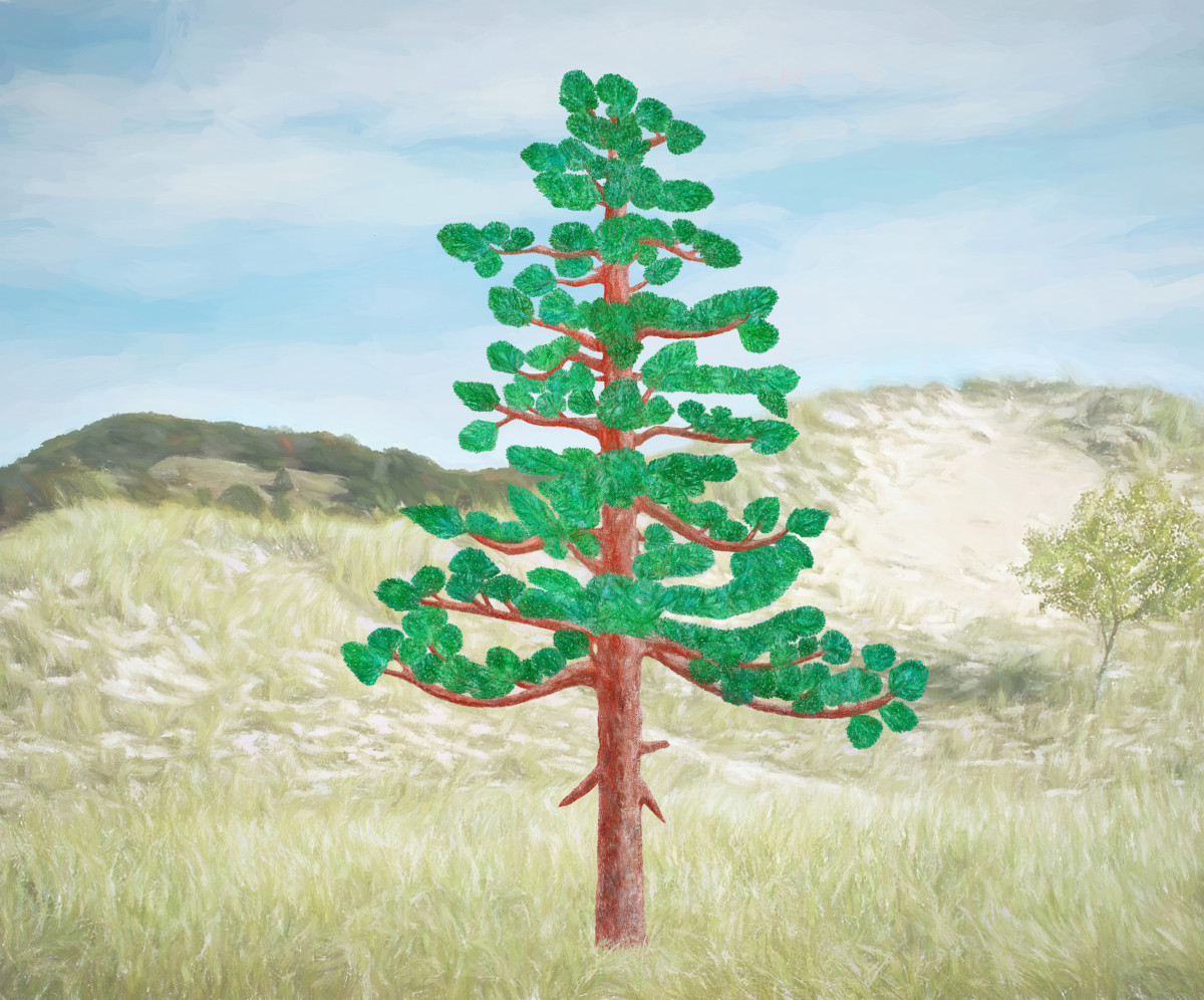 SCOTS (SCOTCH) PINE TREE PHOTO DRAWING