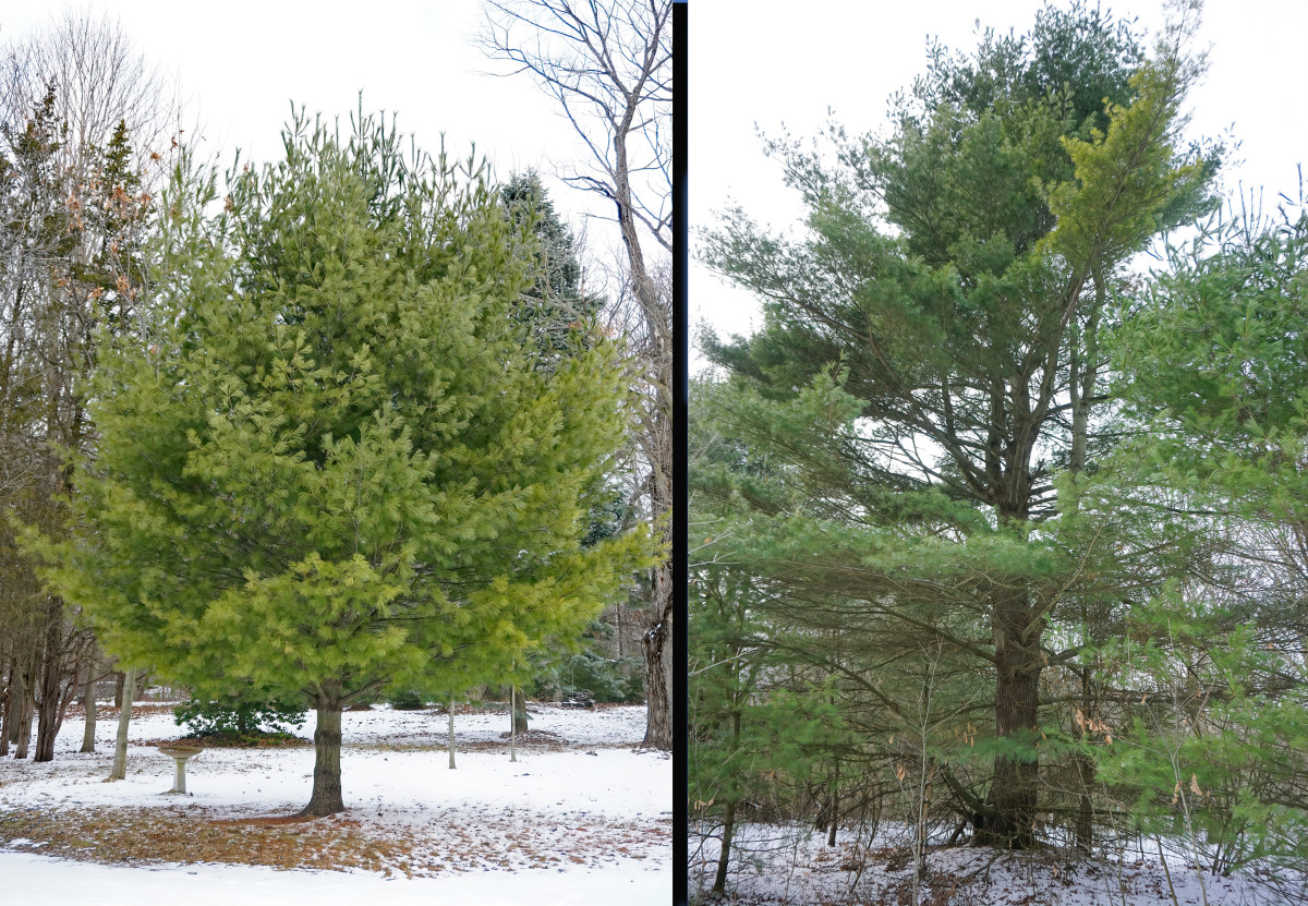 Left:  WHITE PINE TREE in OPEN LANDSCAPE Right: WHITE PINE TREE in  CROWDED FOREST