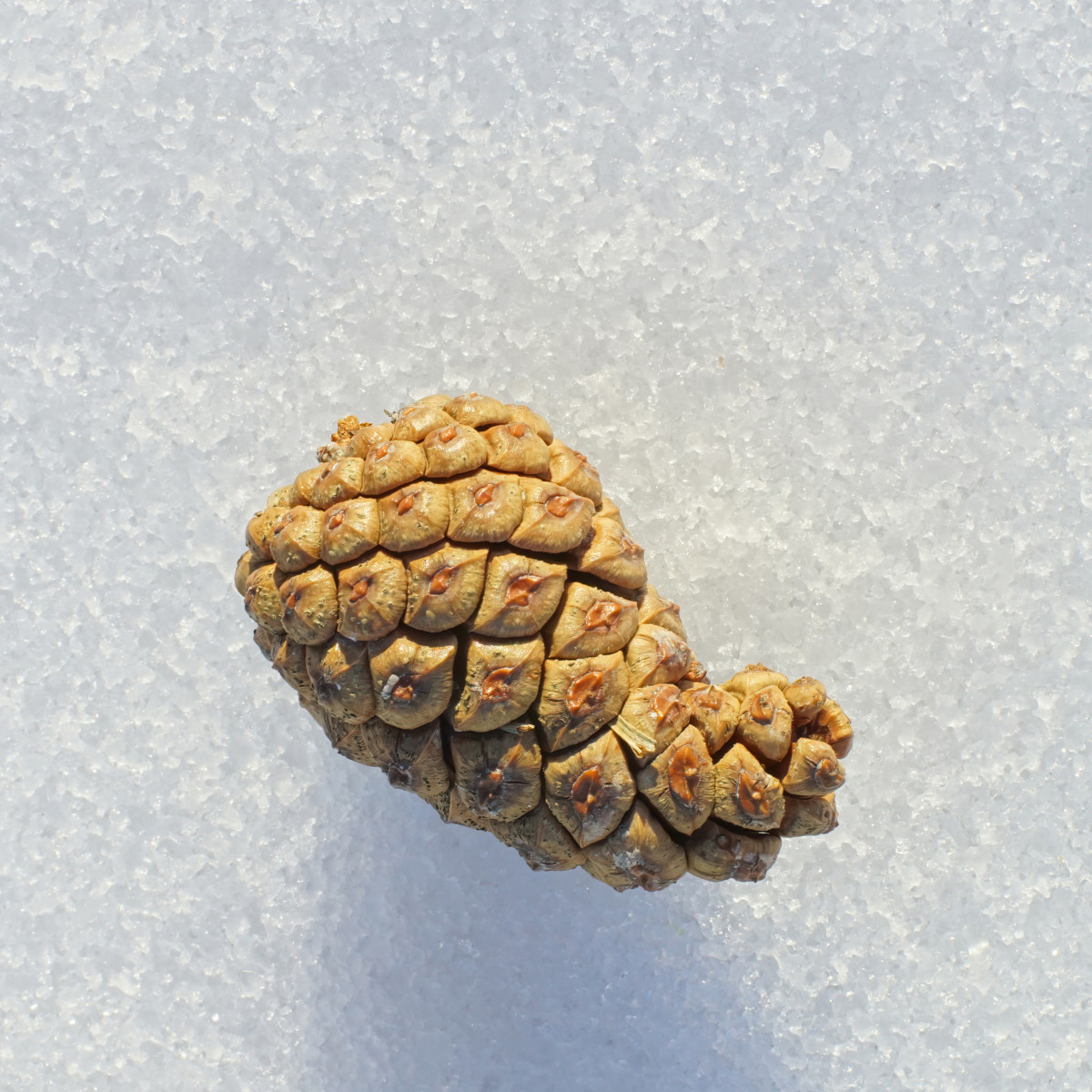 JACK PINE TREE SEED CONE SHOWS CHARACTERISTIC CURVED TIP