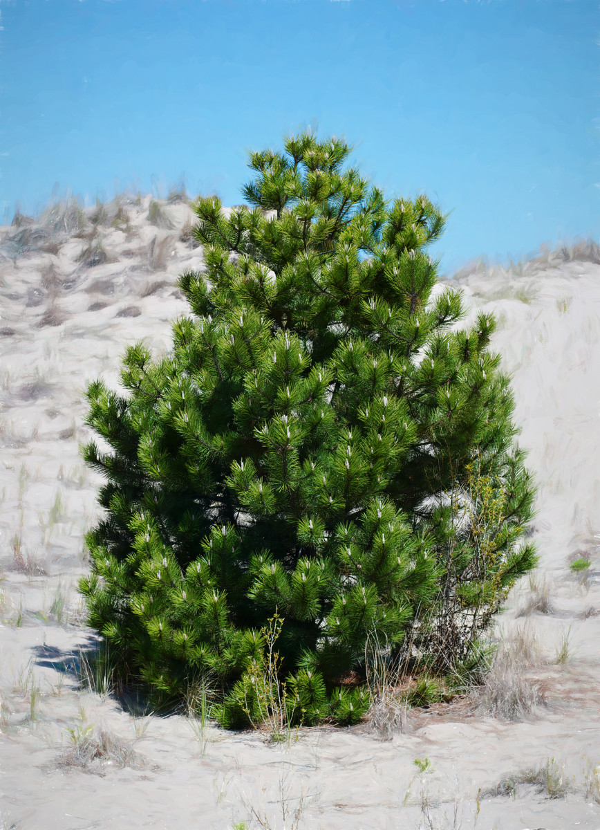 AUSTRIAN PINE (BLACK PINE) TREE