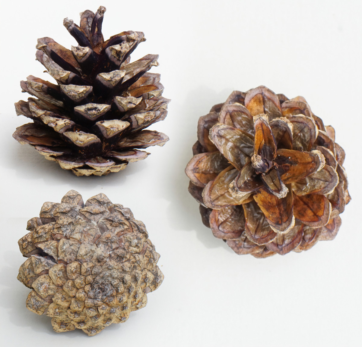 SCOTS PINE SEED CONES
