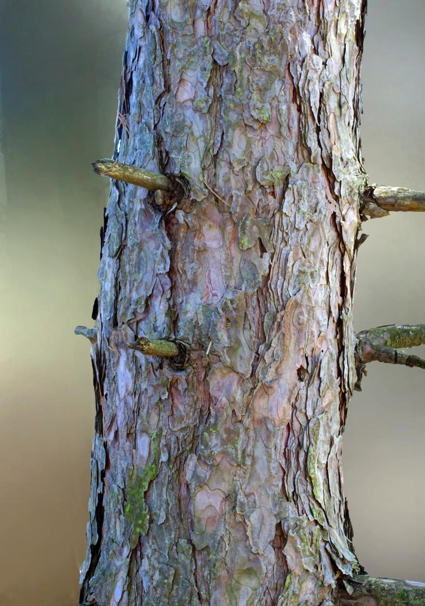 RED PINE TREE BARK