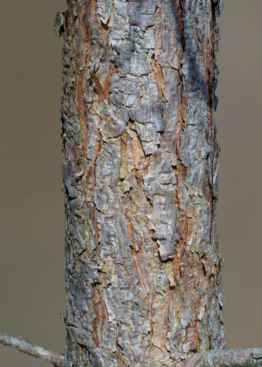 JACK PINE TREE BARK