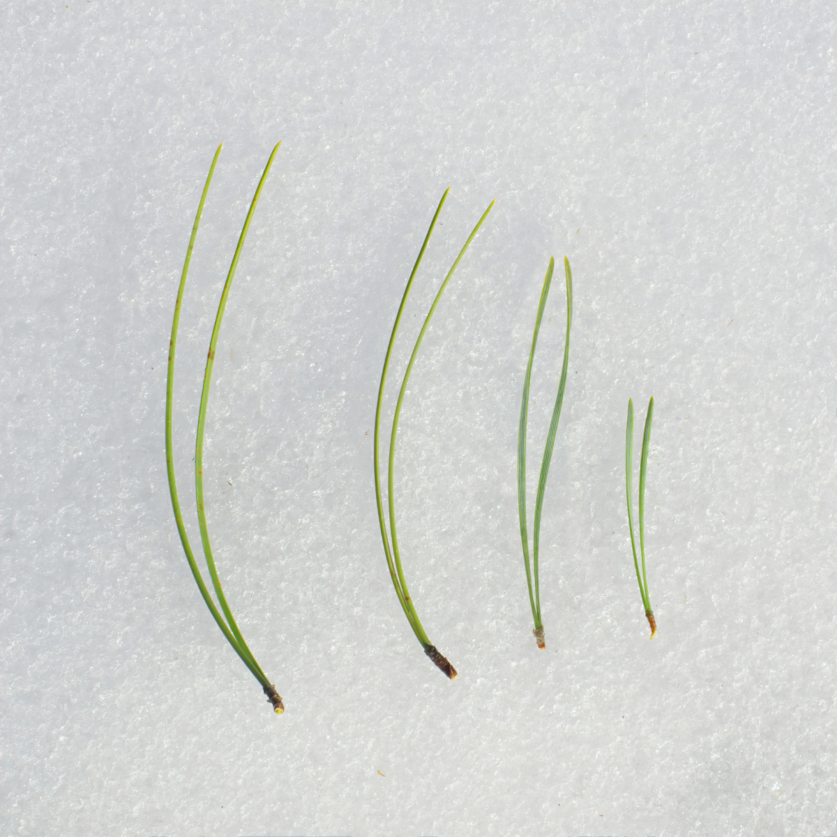 Left to Right:  RED PINE, AUSTRIAN PINE, SCOTS PINE, JACK PINE NEEDLES
