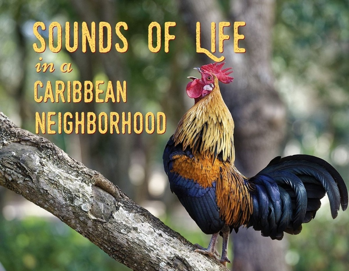 The crowing of the rooster is a regular morning sound in the Caribbean.