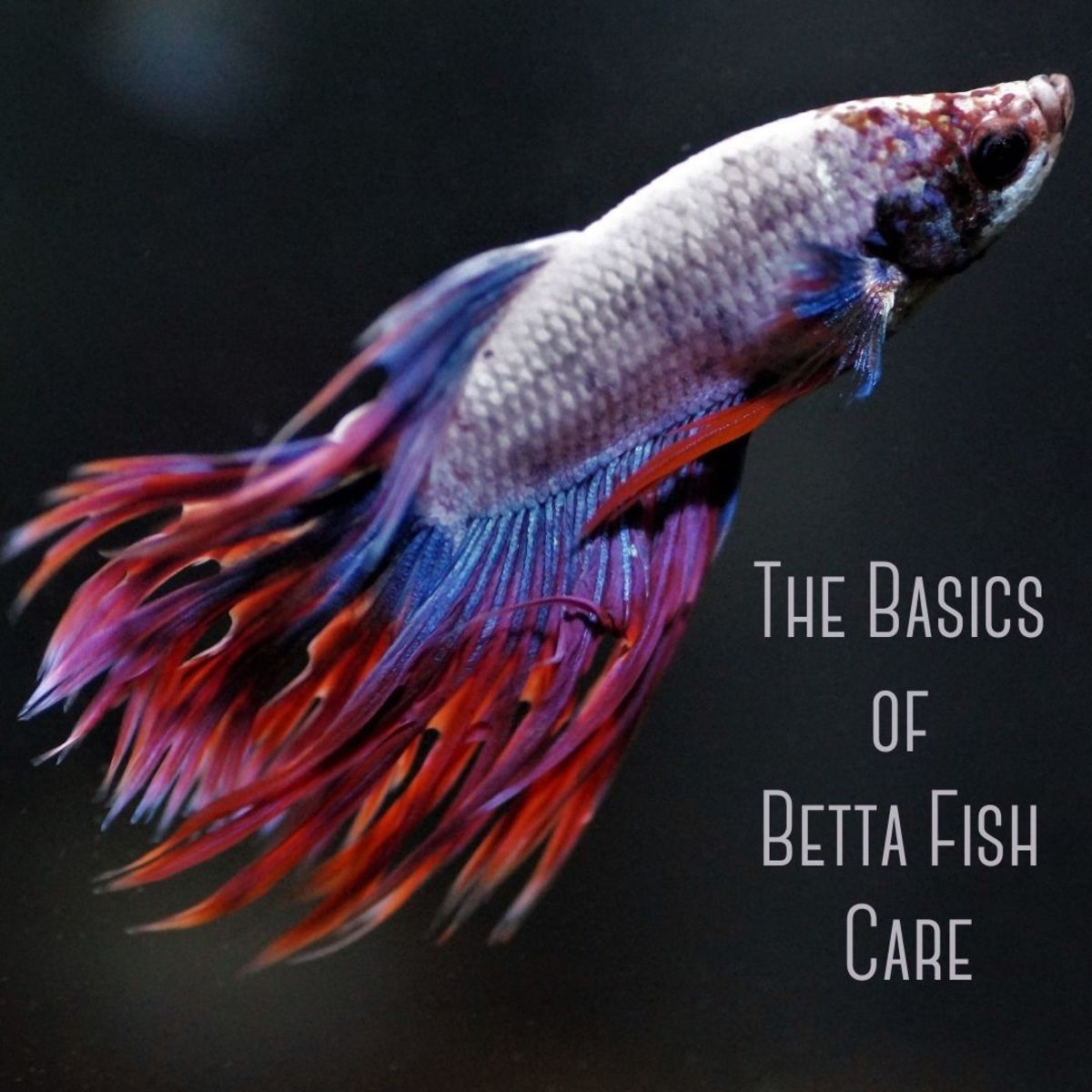 How to care for your betta fish