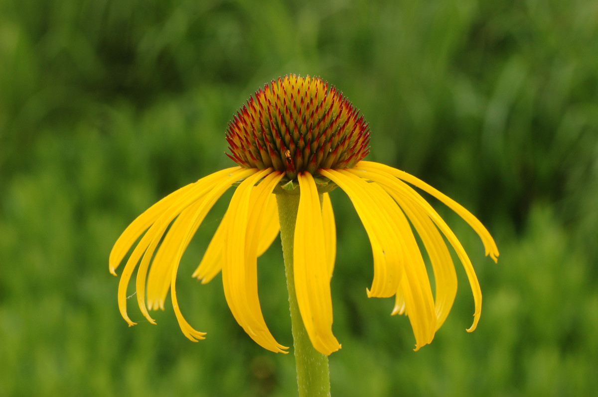 Yellow coneflower offers benefits for songbirds, as well as a splash of bright color.