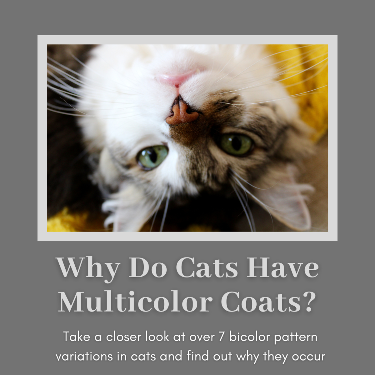 7+ Bicolor Pattern Variations in Cats (and Why They Occur)