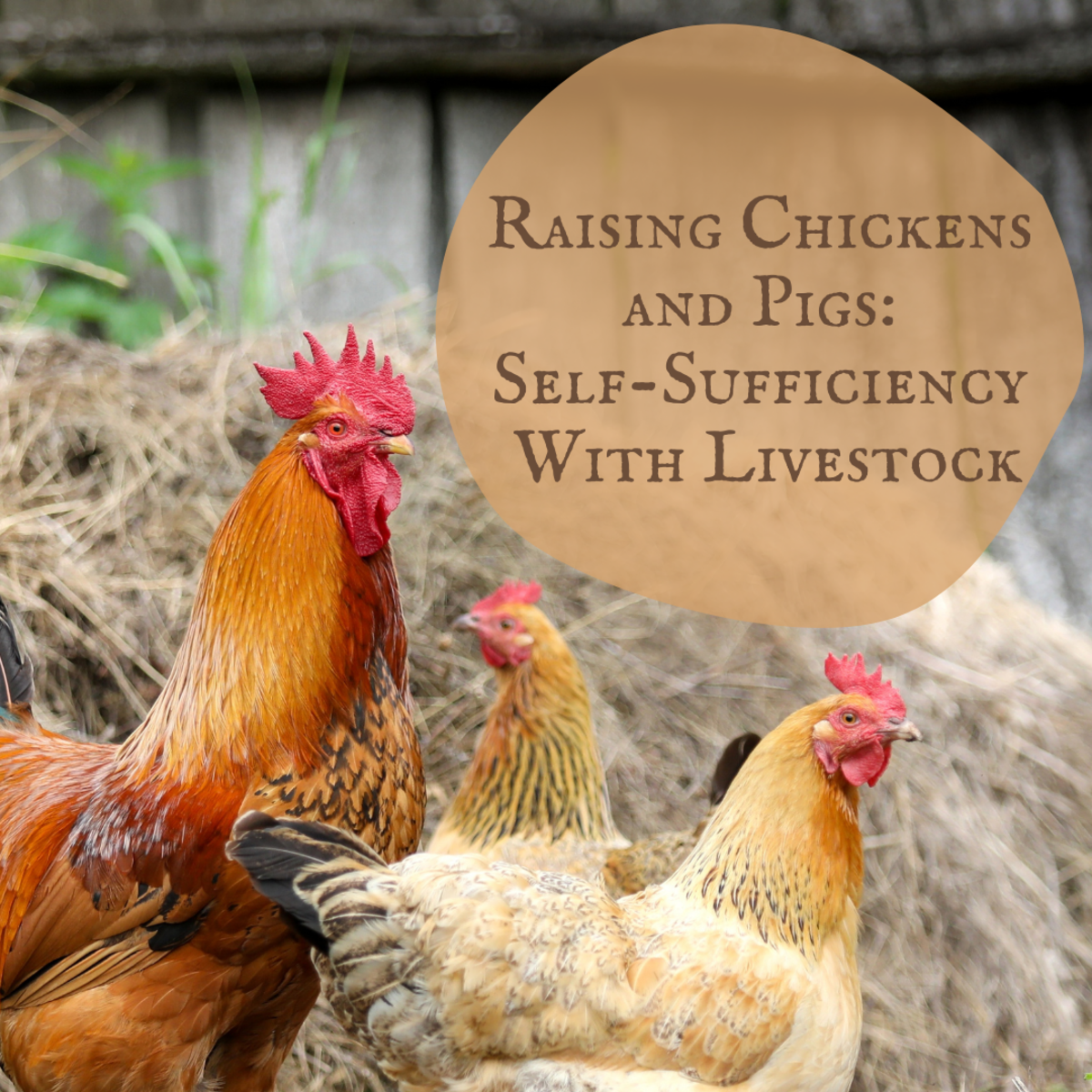 Learn how to be self-sufficient with your own chickens and pigs.