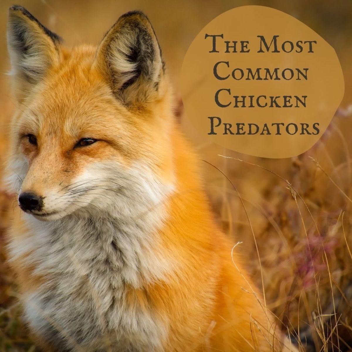 12 Most Common Chicken Predators in the U.S.