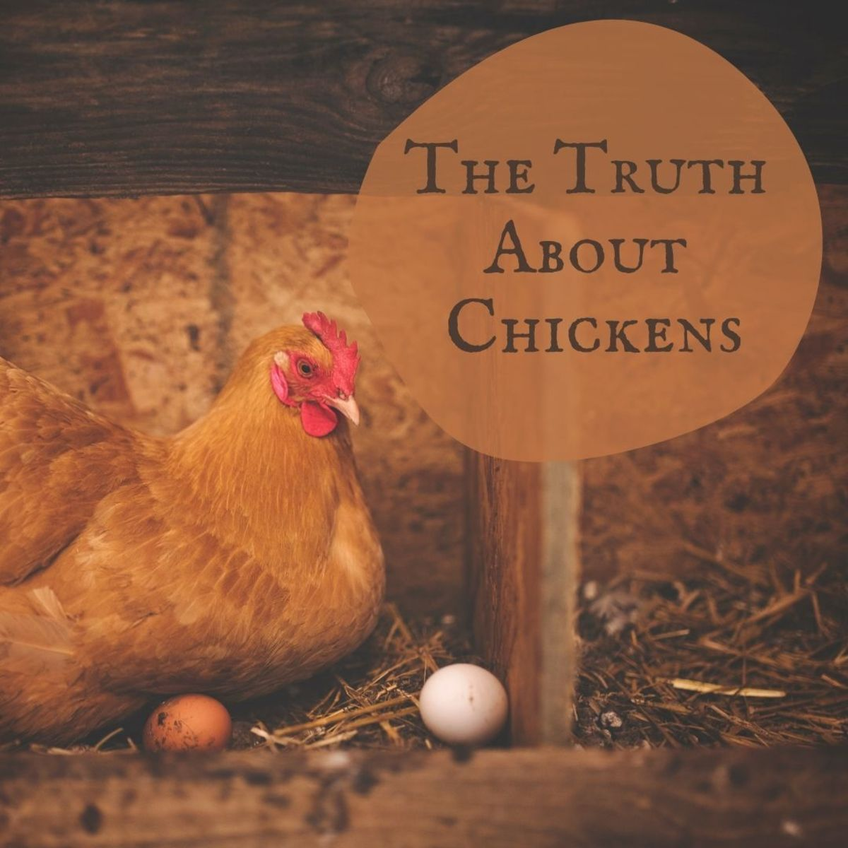 Rumors, facts, myths, and more—all about chickens.