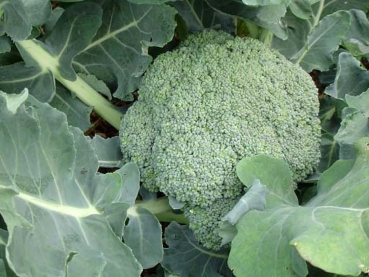 how-to-grow-broccoli-a-cool-season-vegetable