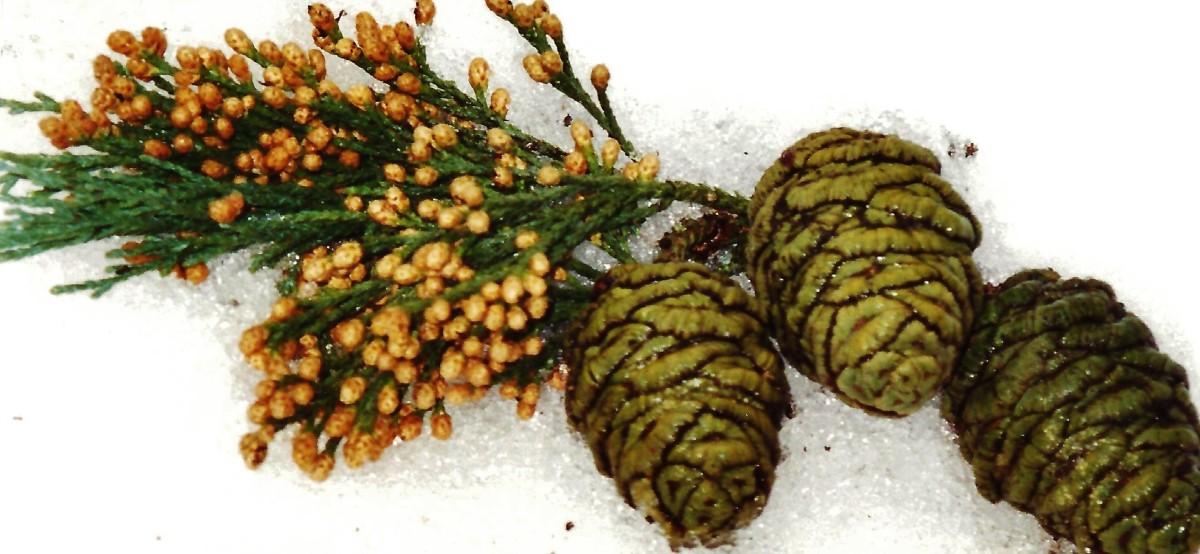 Sequoia pine cones