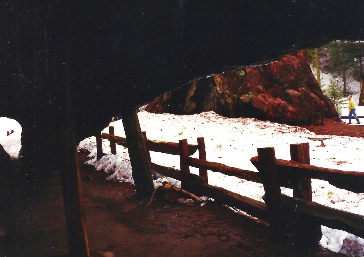 Inside the Fallen Monarch Tree