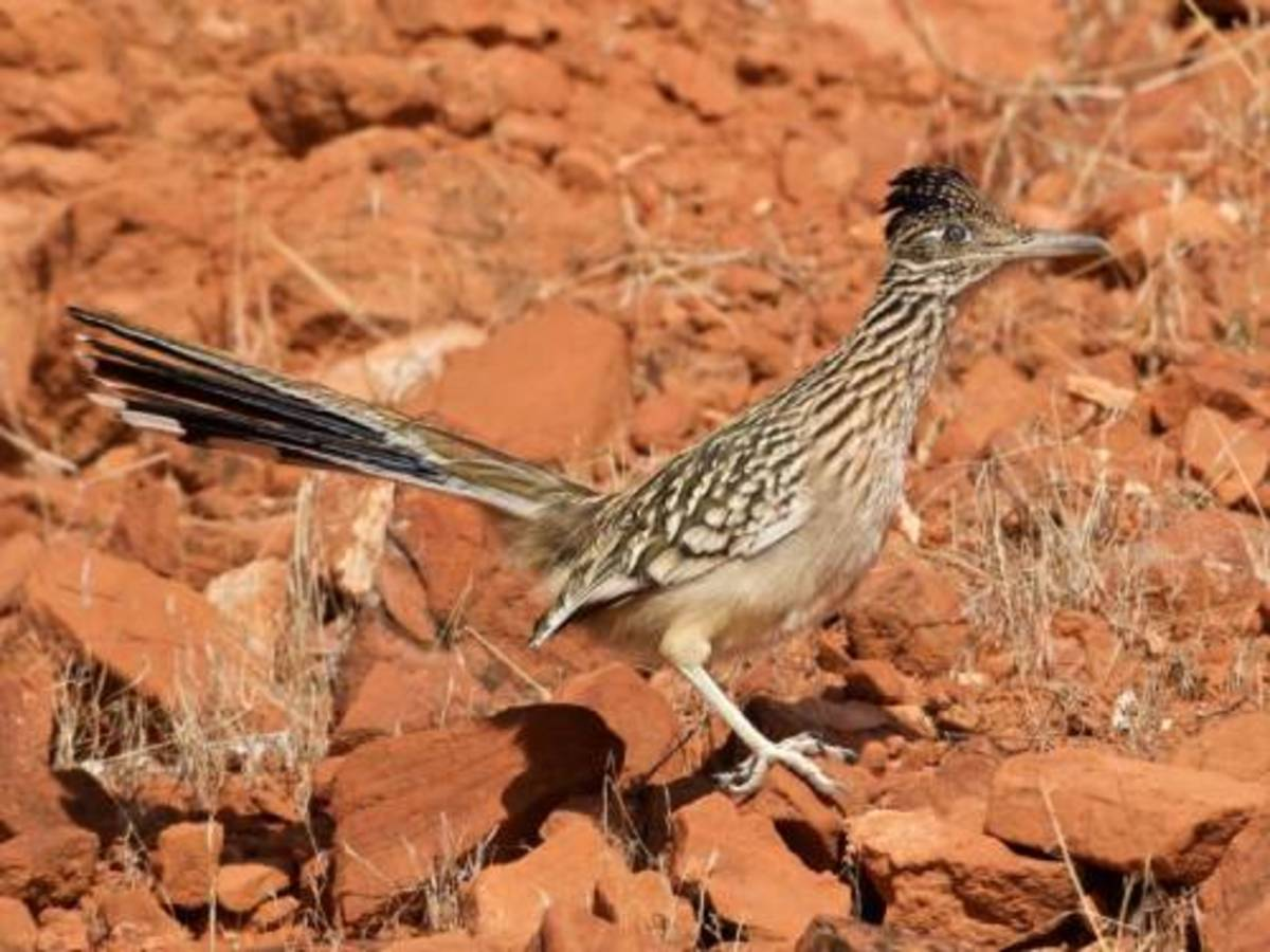 These are one of the most distinctive Roadrunners of the Sedona desert southwest.
