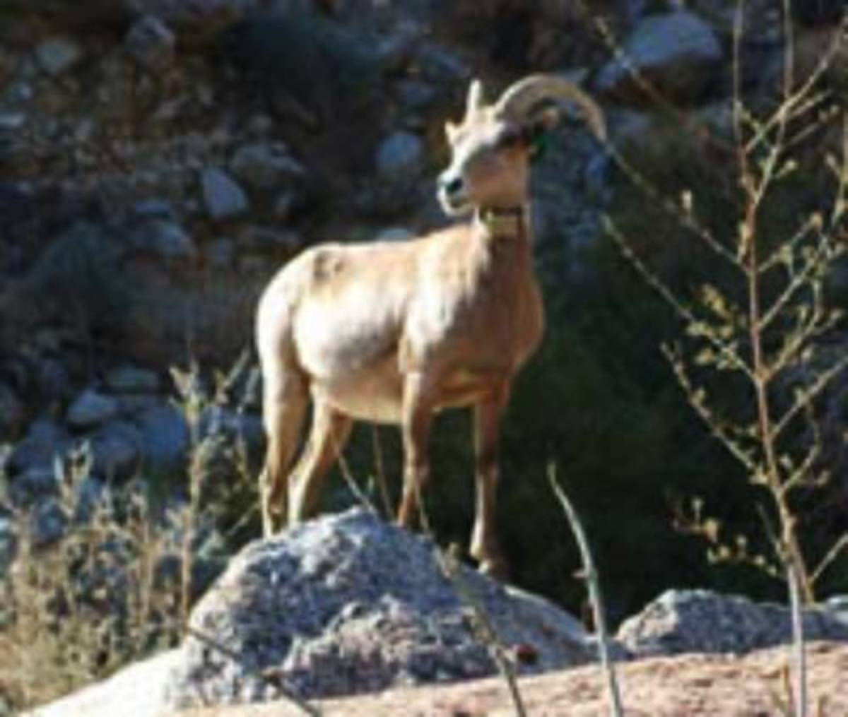 Arizona Bighorn is near steep slopes in desert mountain ranges and rocky cliffs above foothills.