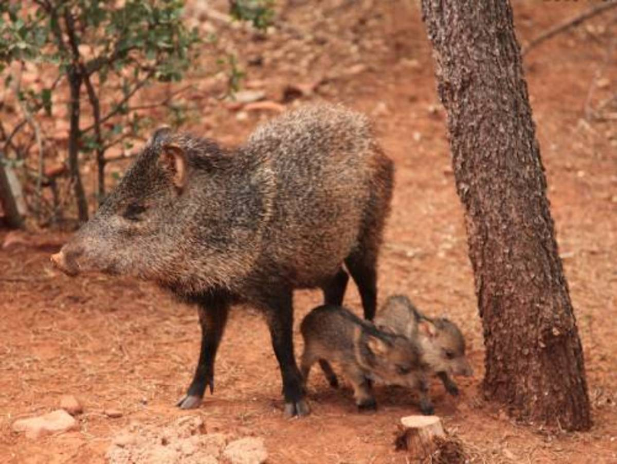 Javelina seem to like plants and roots. They go after the grubs in grass.