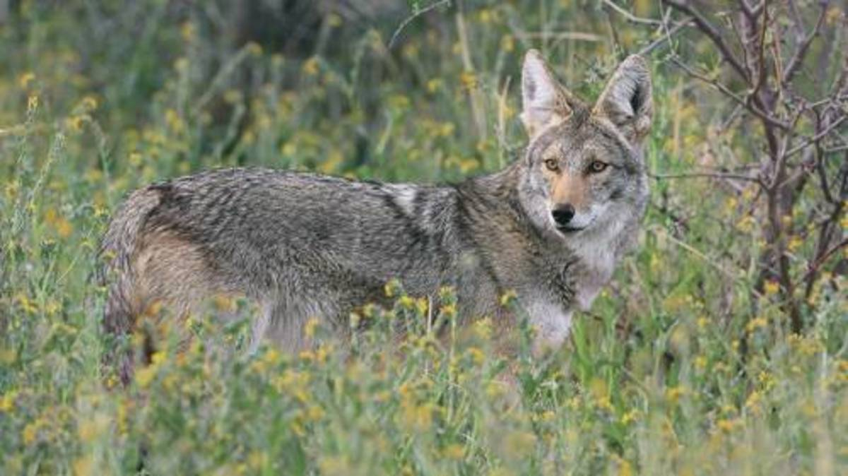 Shelters are coyotes seeks in storm drains and anything and cavernous, like abandoned buildings, dirt trenches or rocky and shaded outcroppings in trails.