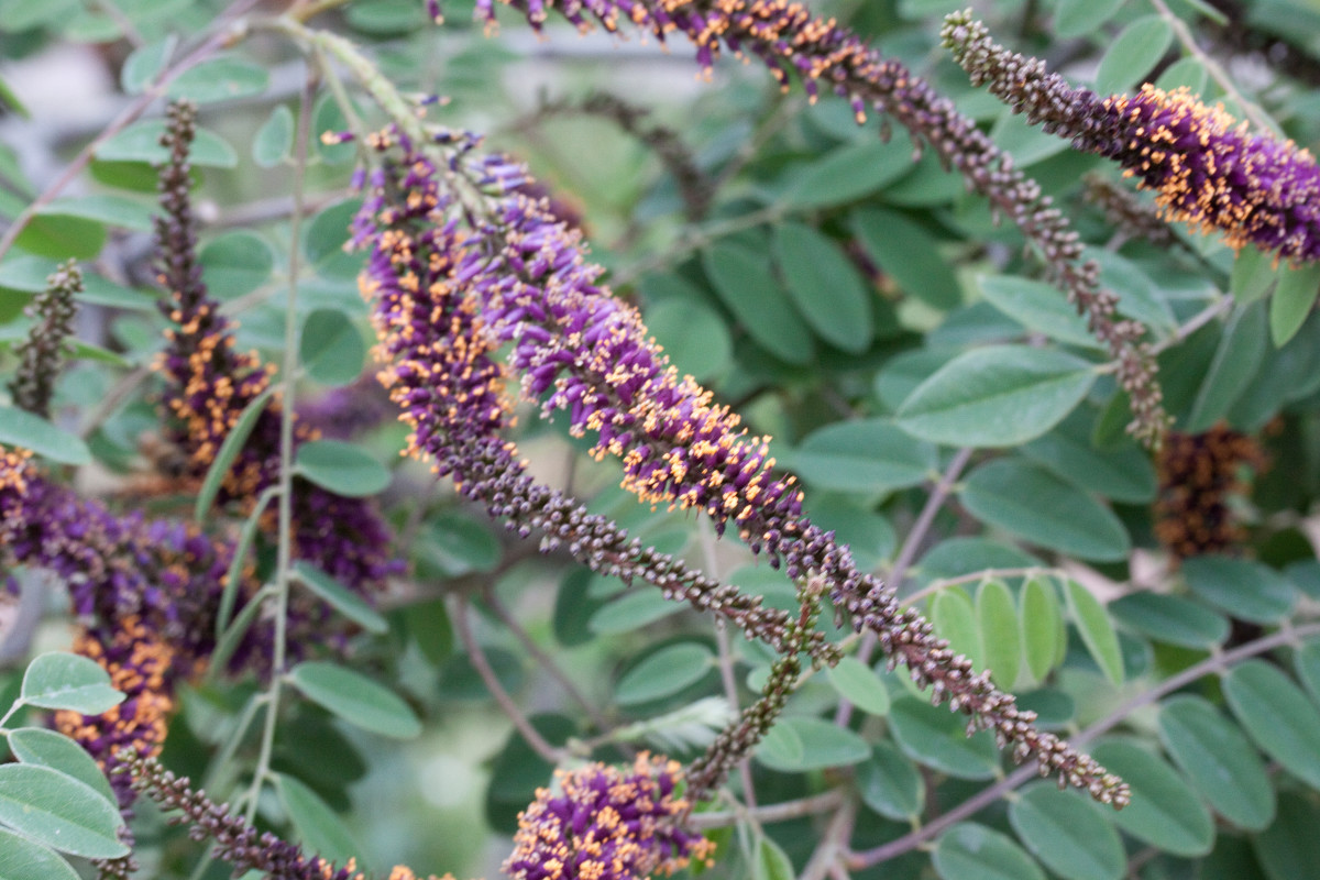 Lead plant is an endangered native woody plant or shrub